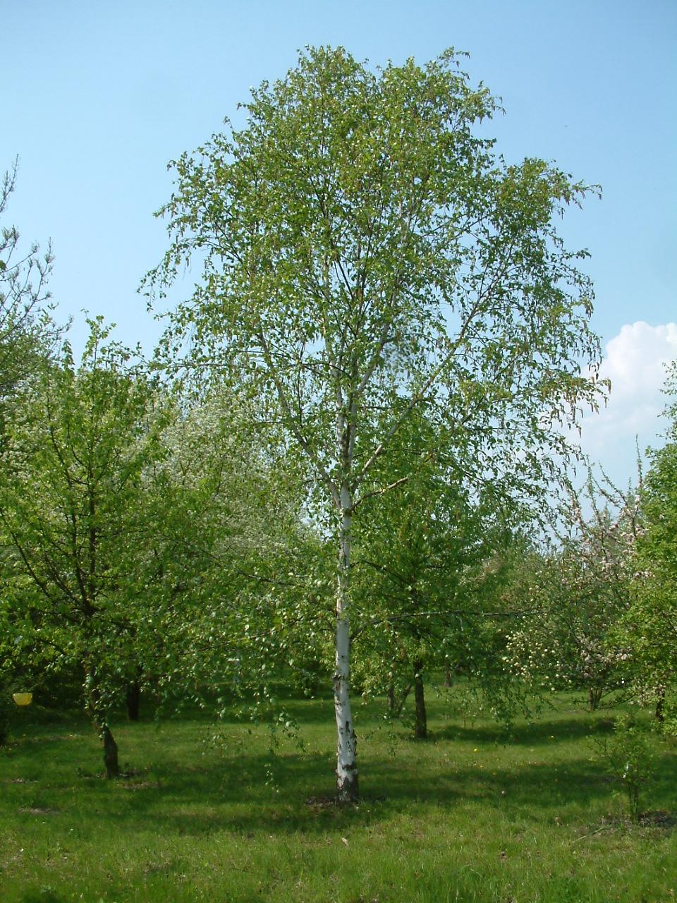 Breza previsnutá – nenáročný strom, biela kôra, visiace konáre
