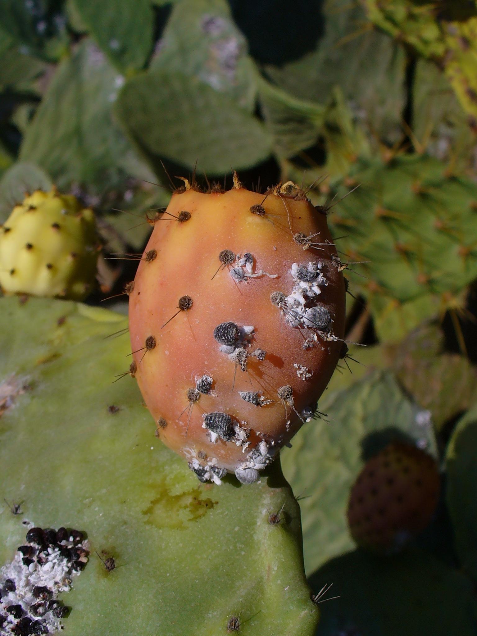 File:Dactylopius coccus 05.JPG - Wikimedia Commons Dactylopiidae