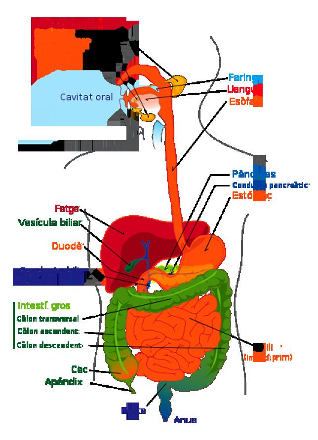 digestive system diagram. human digestive system diagram