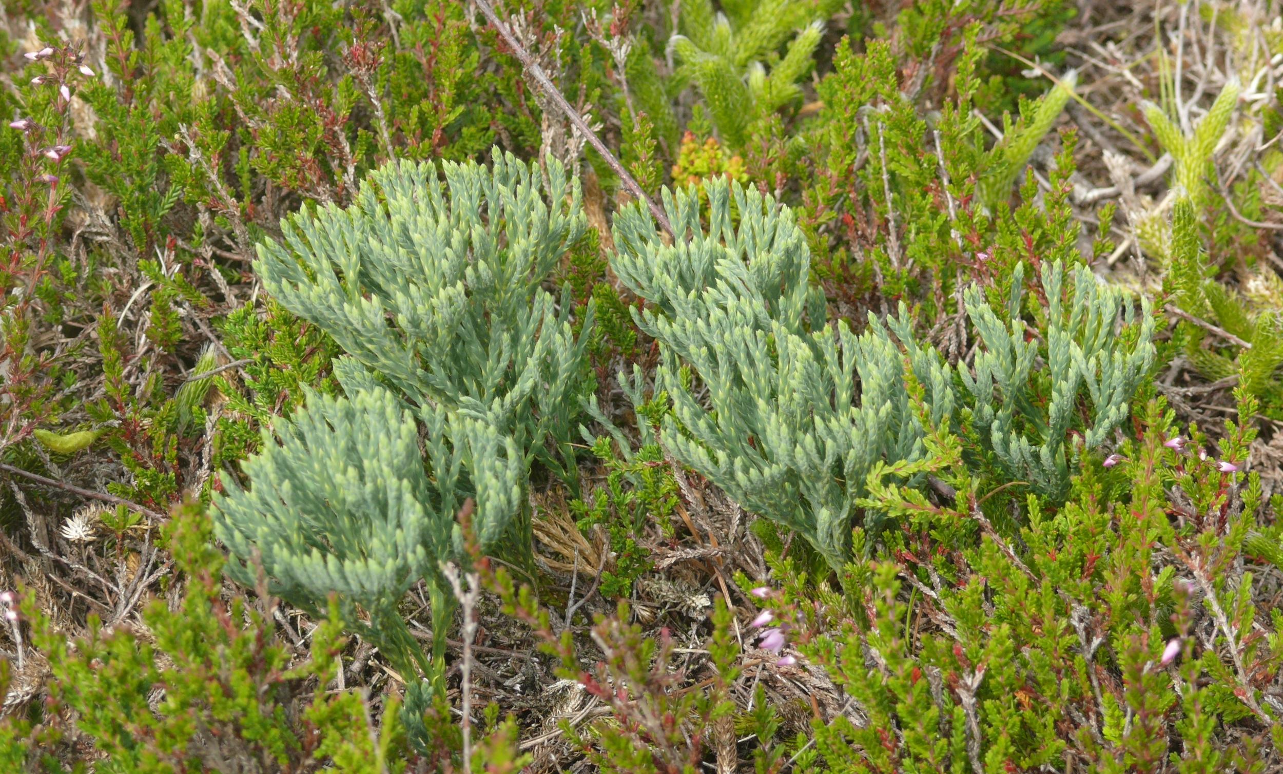 Сосудистые растения картинки