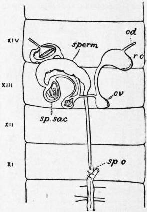 EB1911 Chaetopoda Fig. 12.—Female reproductive system of Heliodrilus.jpg