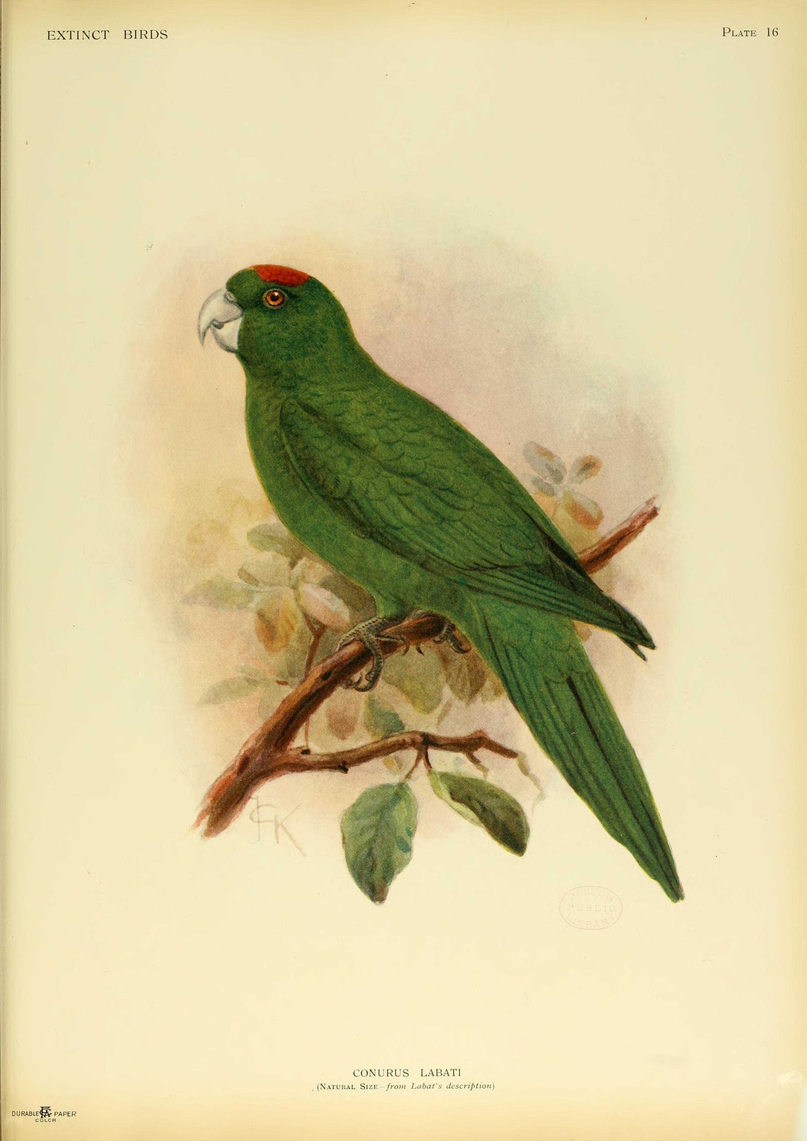 http://upload.wikimedia.org/wikipedia/commons/c/ca/Extinctbirds1907_P16_Conurus_labati0313.png