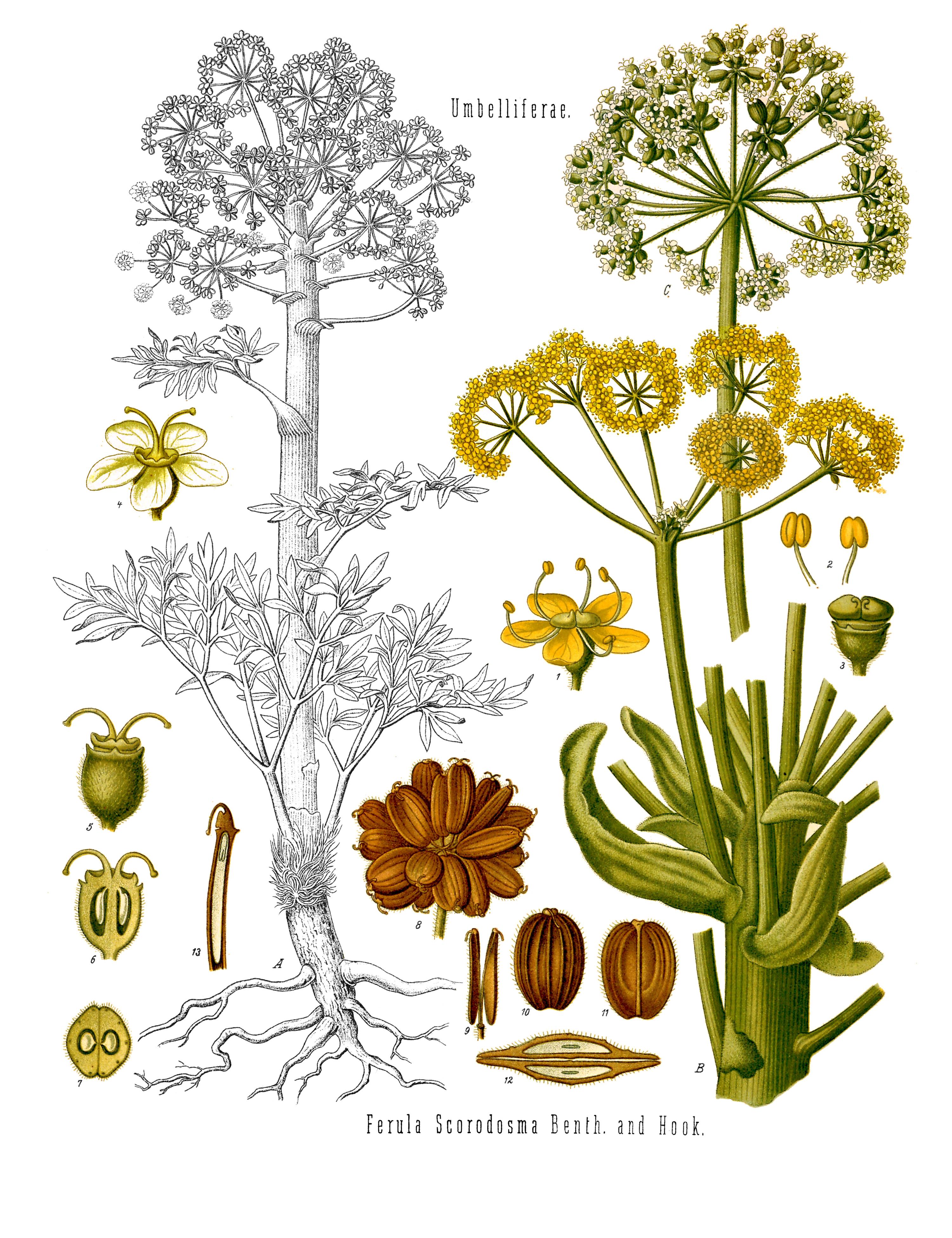 planche botanique de l'ase fétide