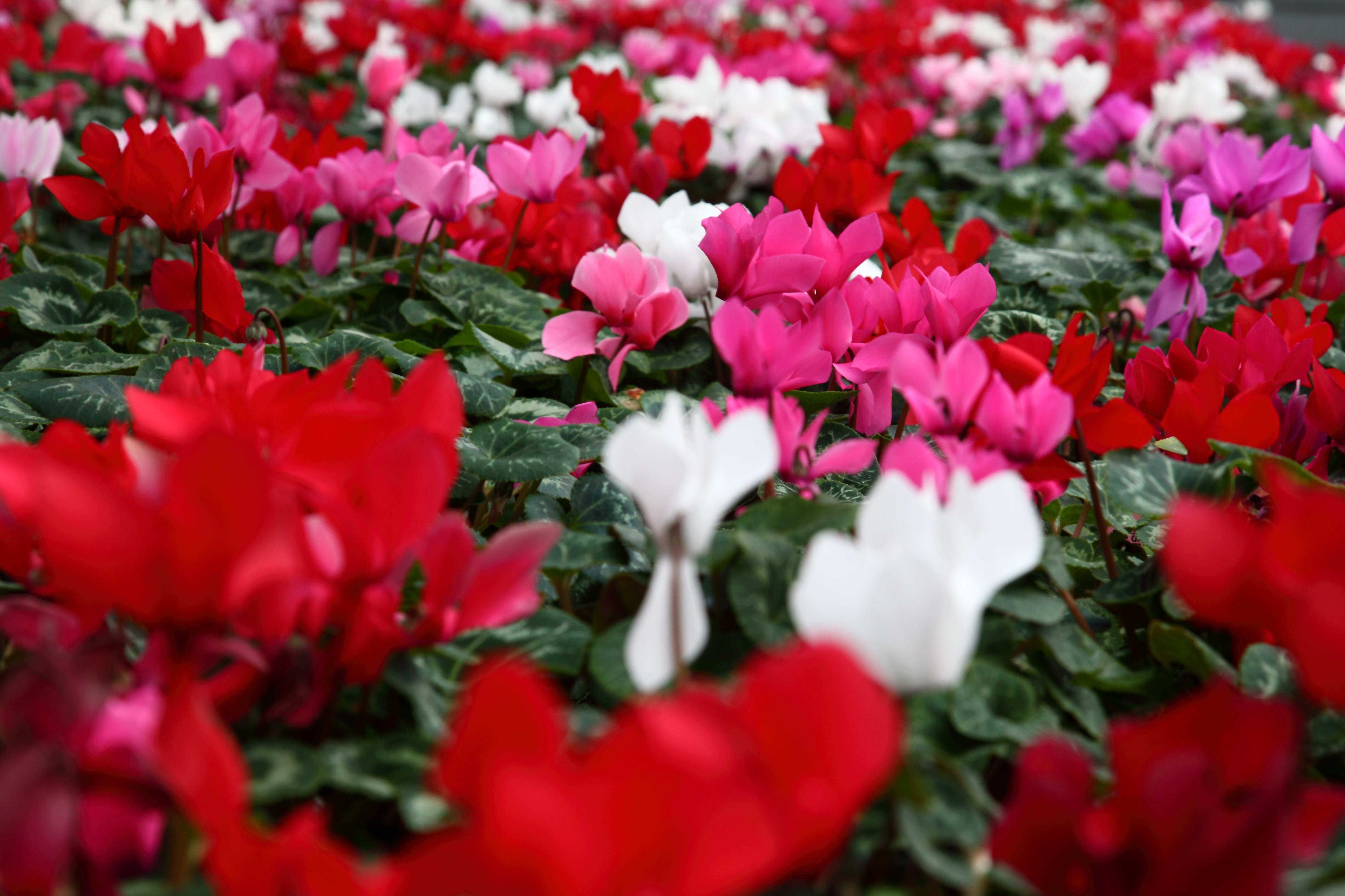 File Field spring cyclamen flowers West Virginia ForestWander Wikim