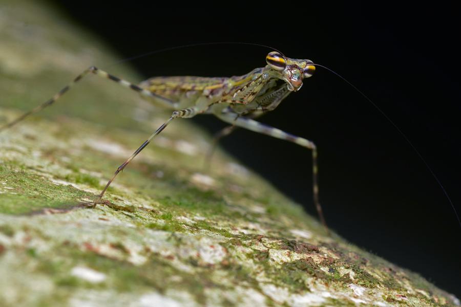 File:Flickr - ggallice - Lichen bark mantis.jpg - Wikimedia Commons