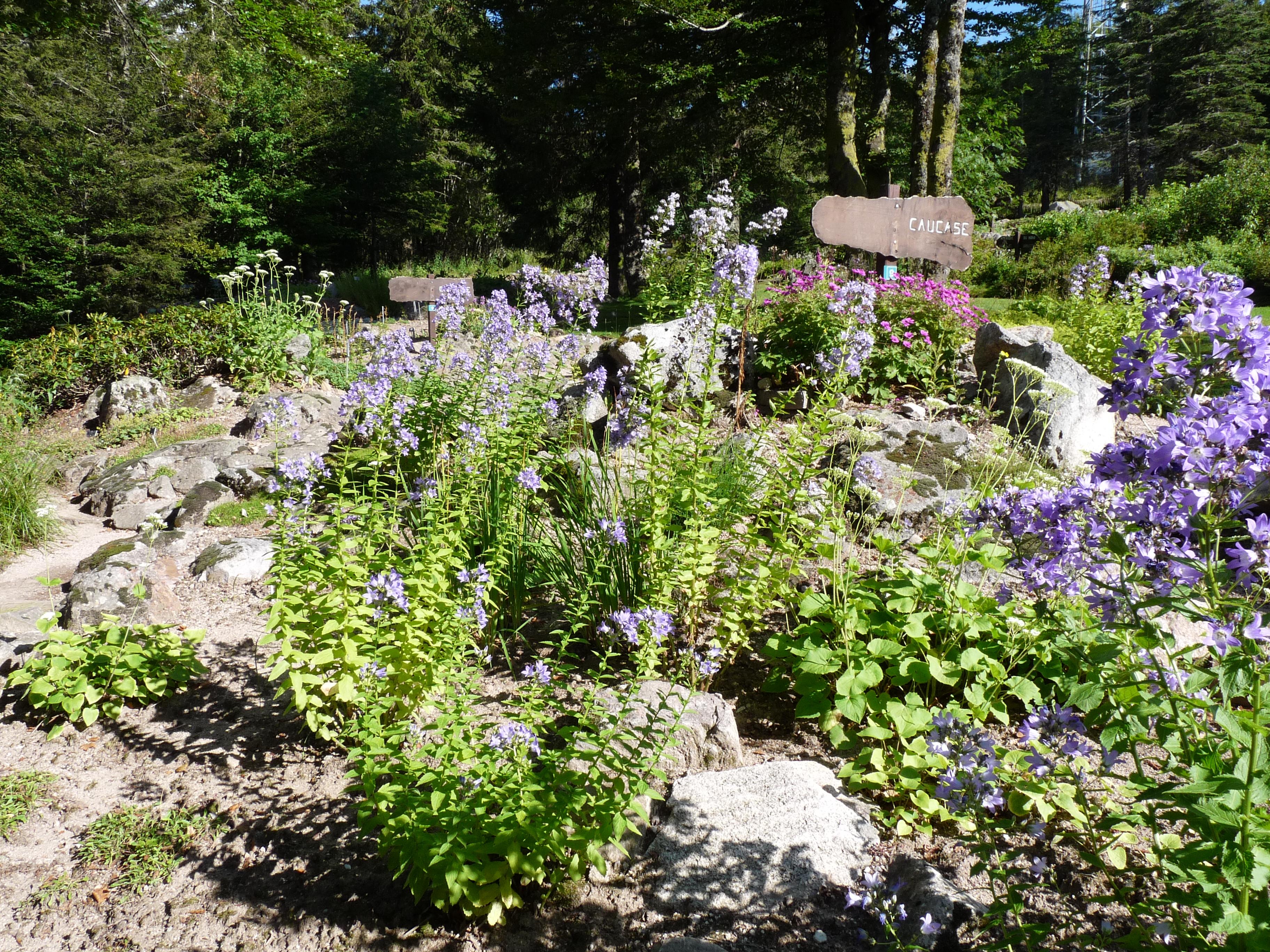 File flore du caucase jardin d 39 altitude du haut chitelet - Jardin d altitude du haut chitelet ...