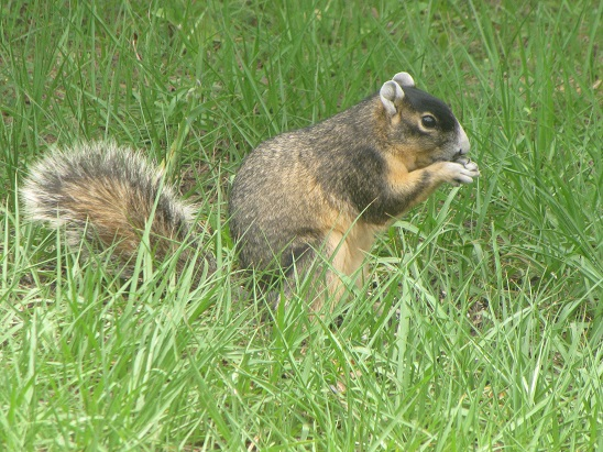 Sherman's fox squirrel - Wikipedia