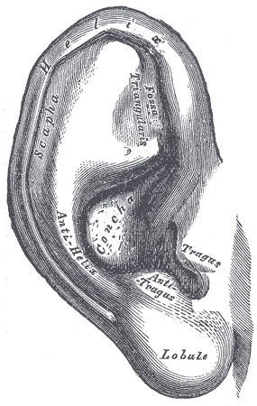 auricle anatomy wikipedia Labelled Ear Diagram