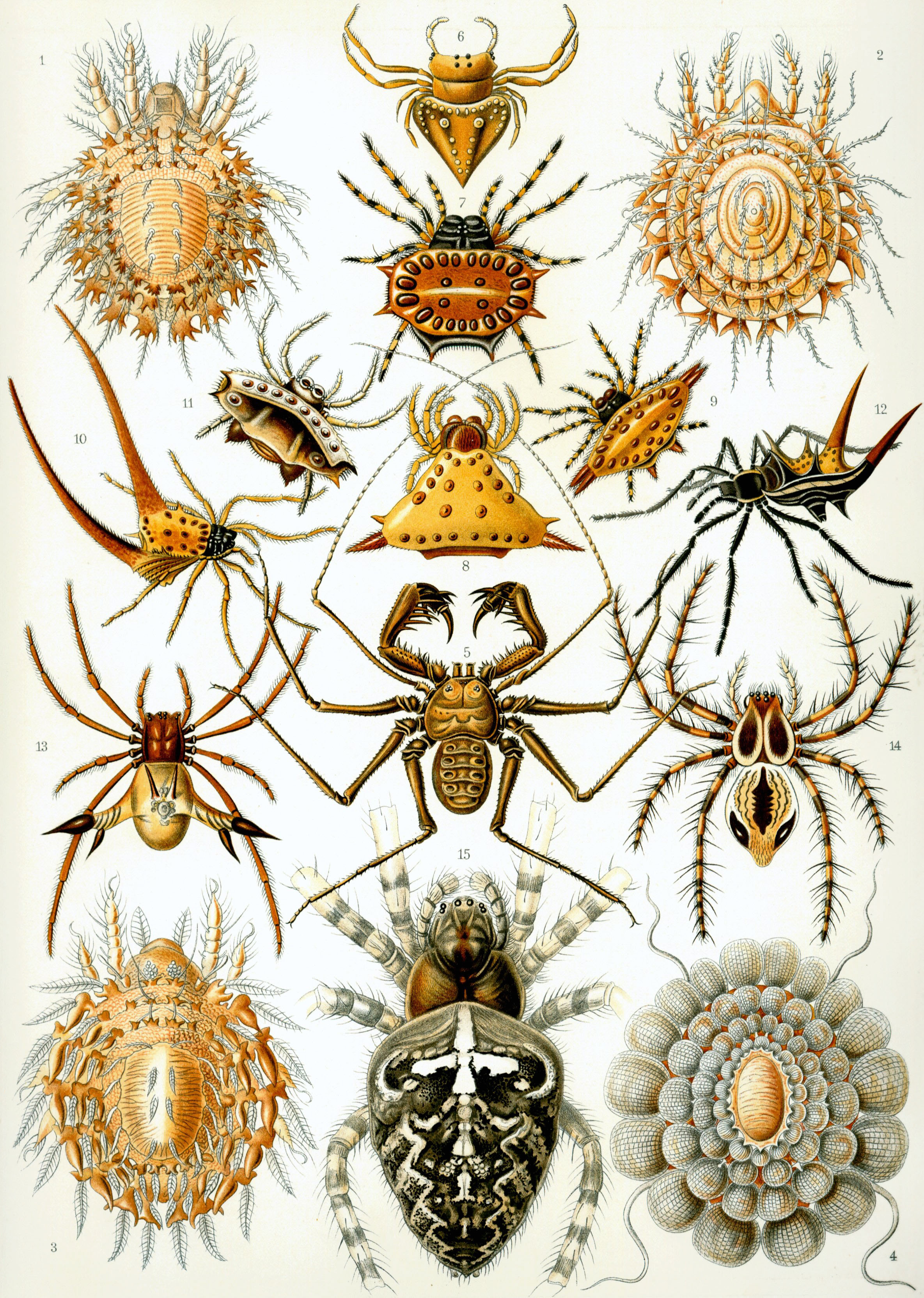 Chart Of Food And Their Nutrients: Arachnid - Wikipedia,Chart