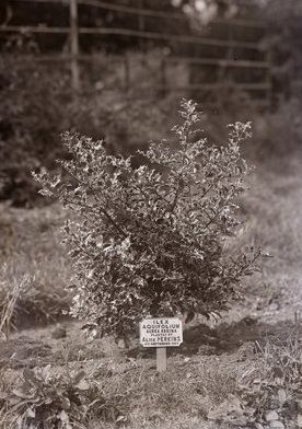Tree planted by Alice Perkins