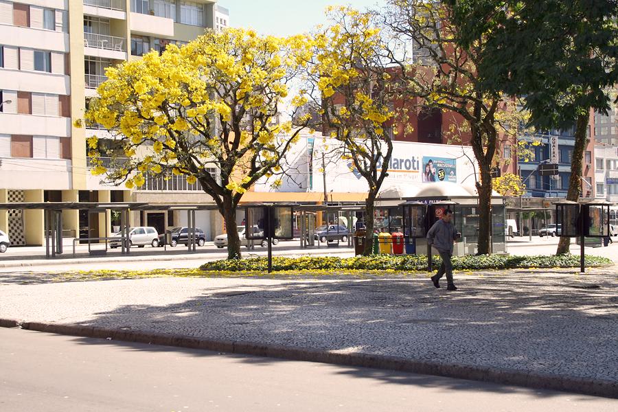 File:Ipe-amarelo curitiba.jpg - Wikimedia Commons