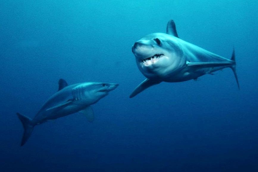 Image Result For Public Domain Shark