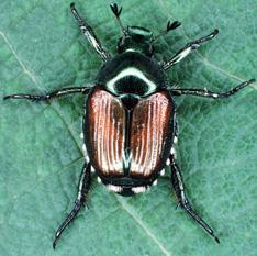 The Japanese beetle adult--an attractive pest....