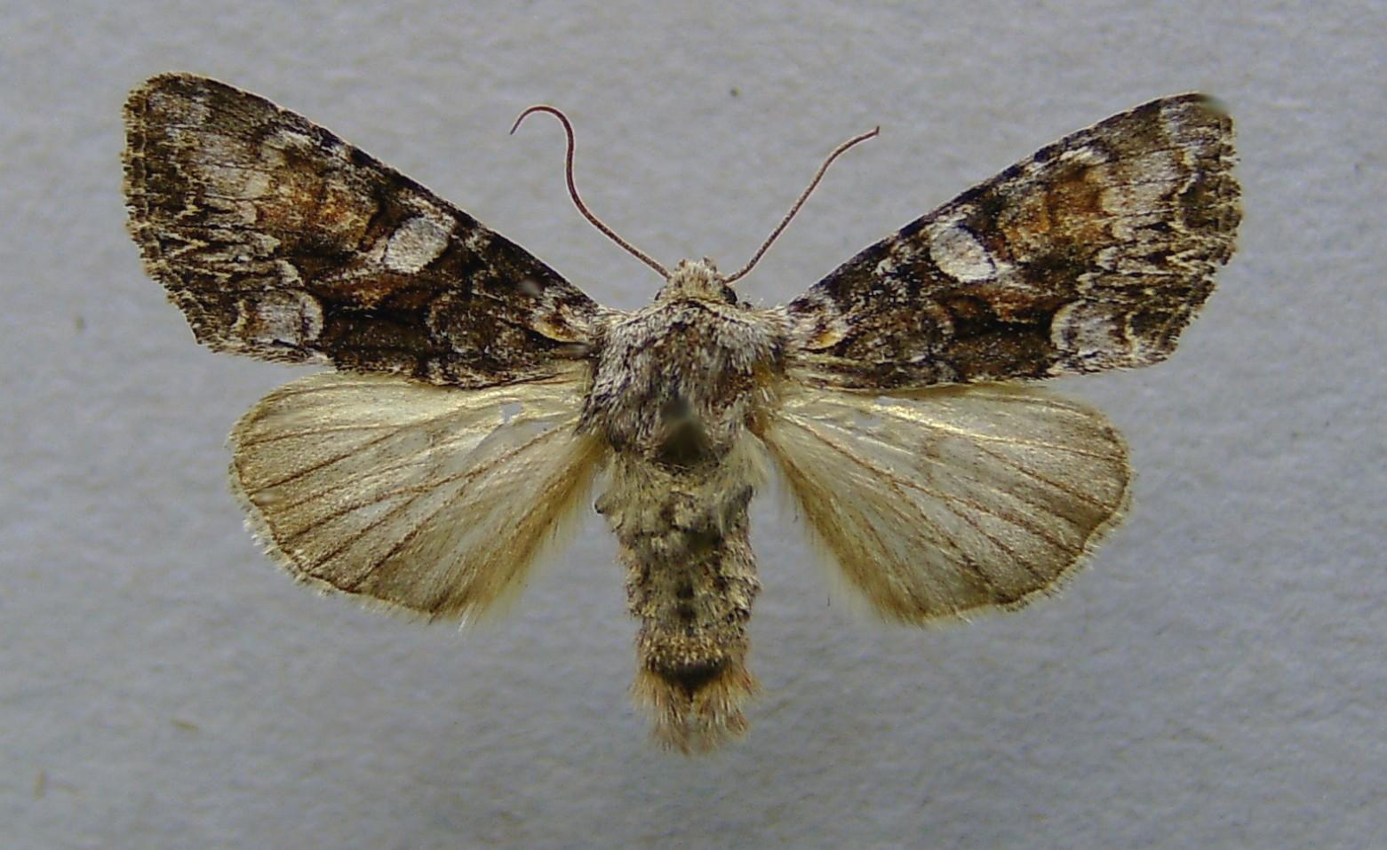 Lacanobia contigua.jpg © Dumi (Wikimedia Commons - CC-BY-SA-3.0; GFDL)