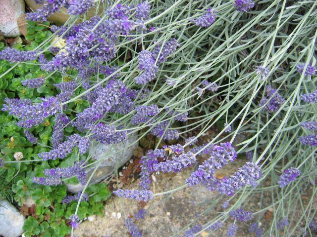File:Lavender-flowers.jpg