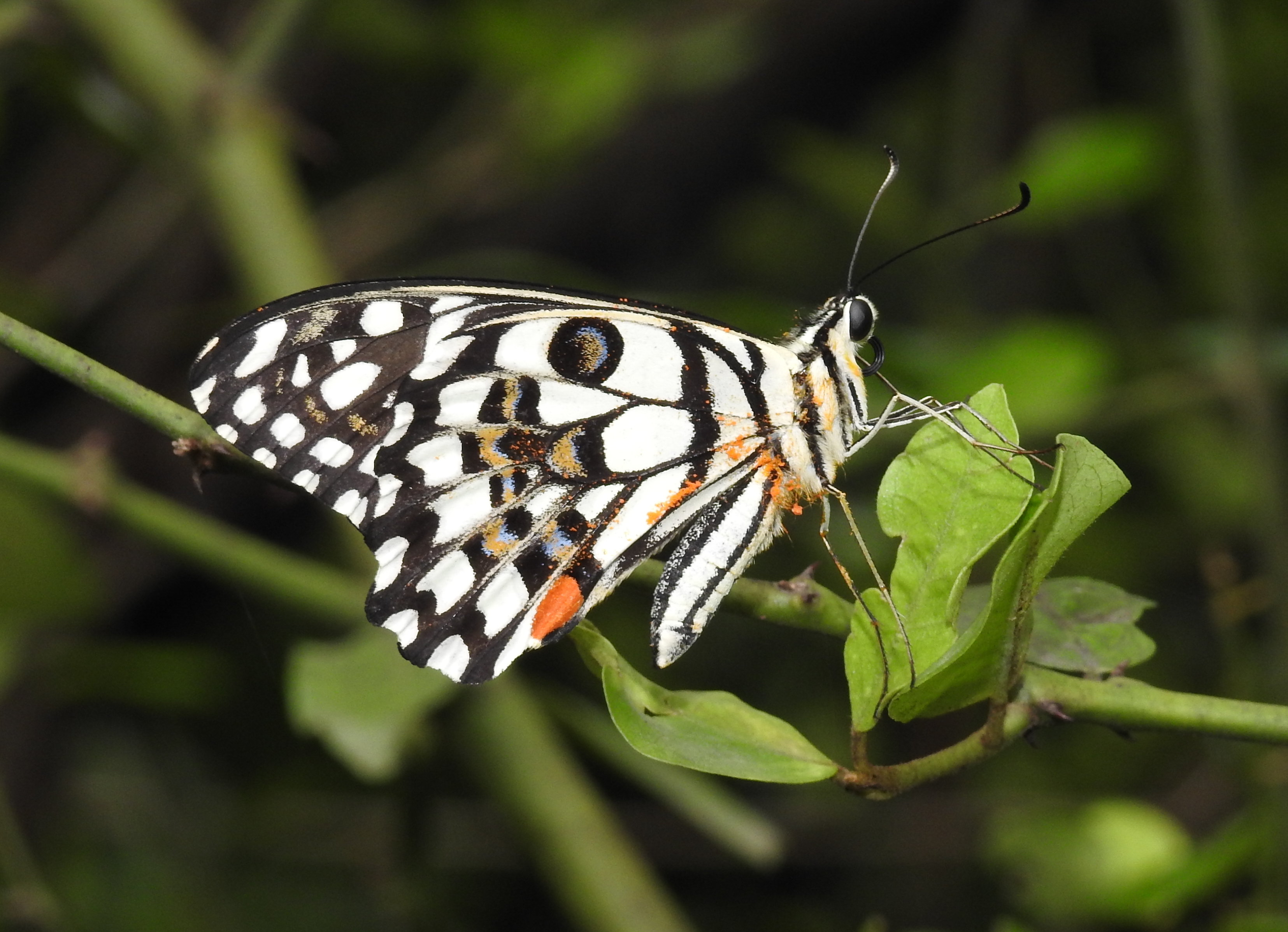 File:Lime Butterfly Papilio demoleus by Dr  Raju Kasambe