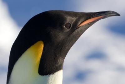 Pinguim-imperador (08/04/2008).