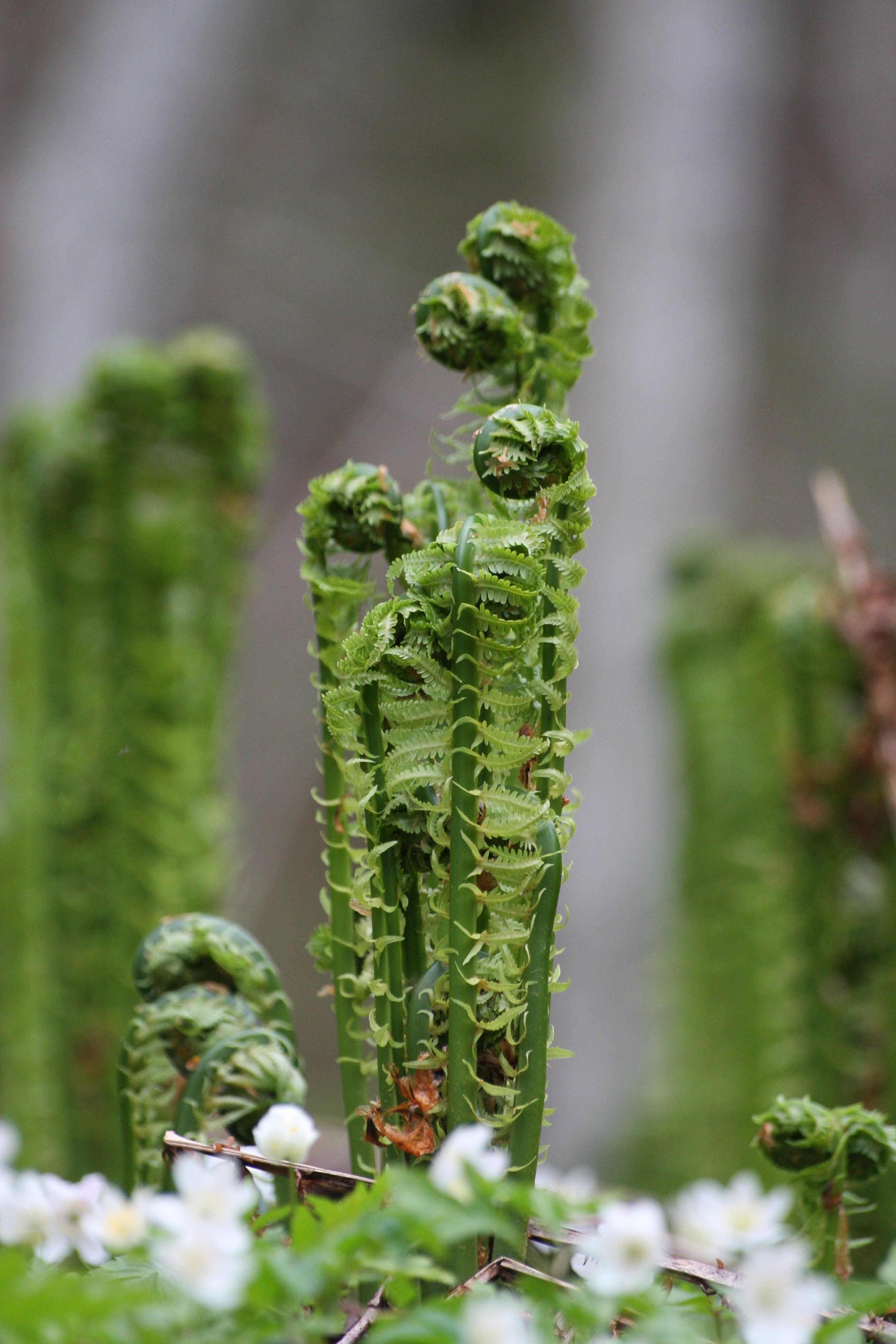 Photo of ostrich fern fiddleheads