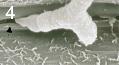 Mycosphaerella graminicola 4.png