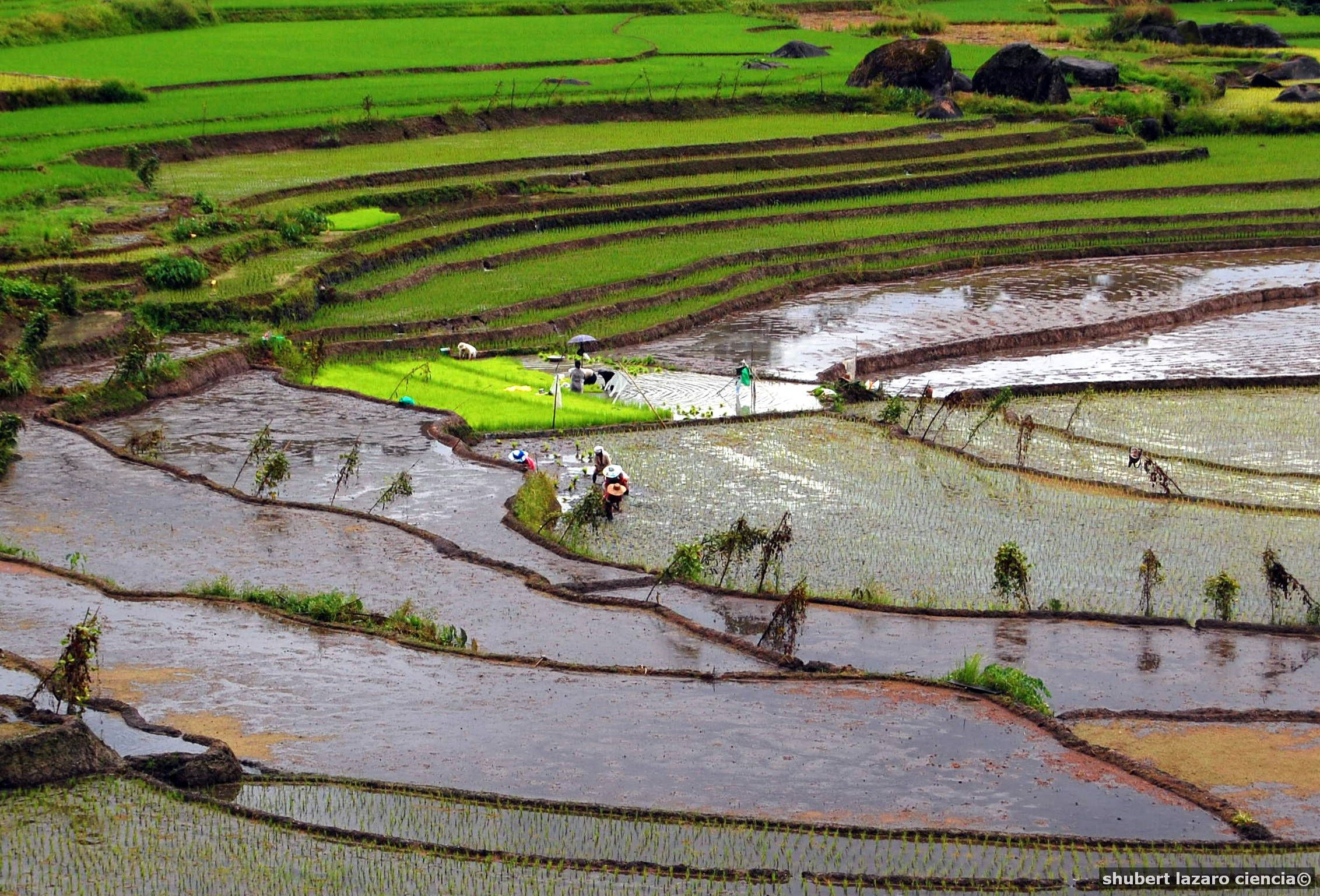 Rice production in the philippines for What are terraces