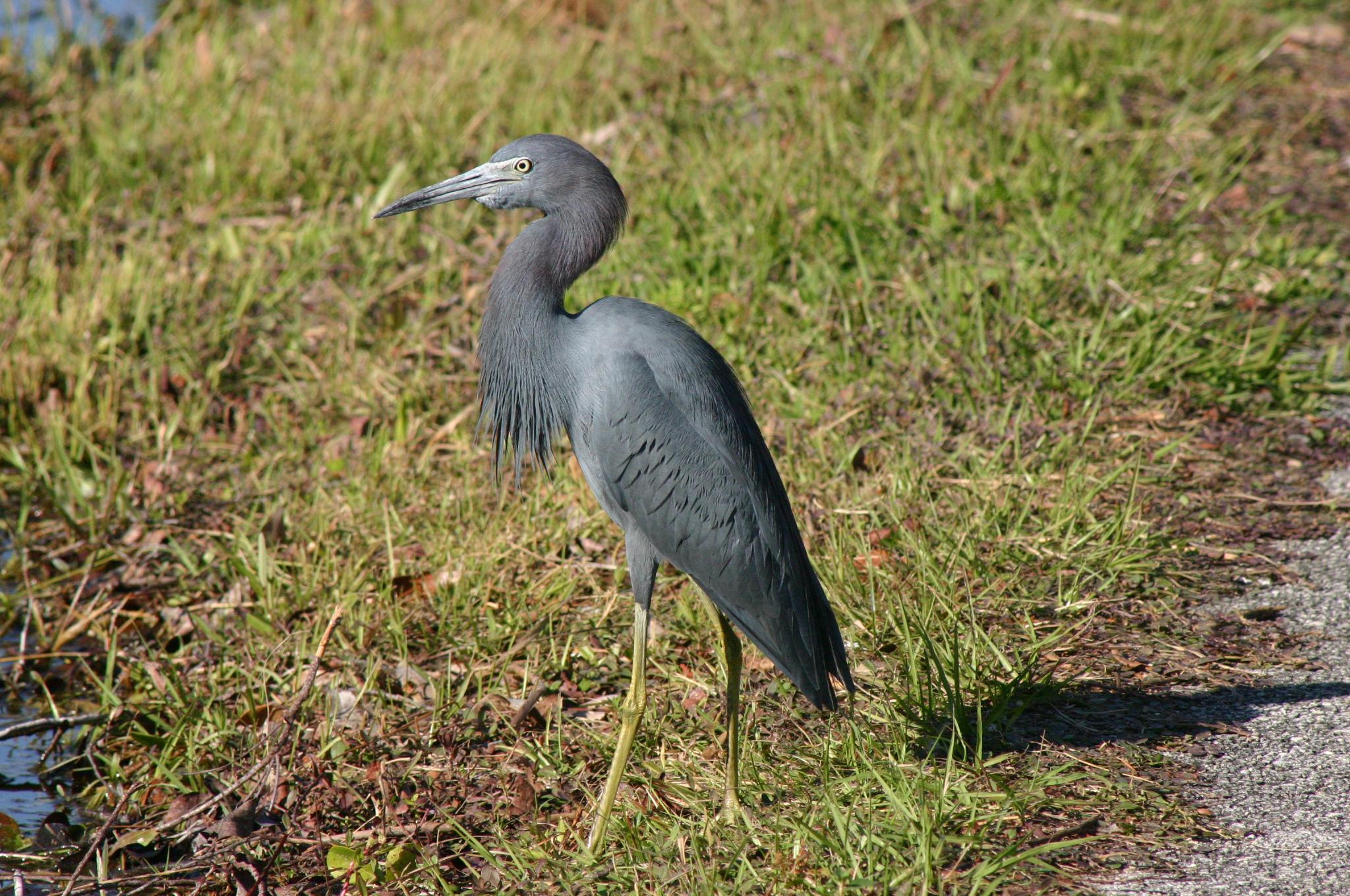 File:Nonbreeding Adult Little Blue Heron.jpg