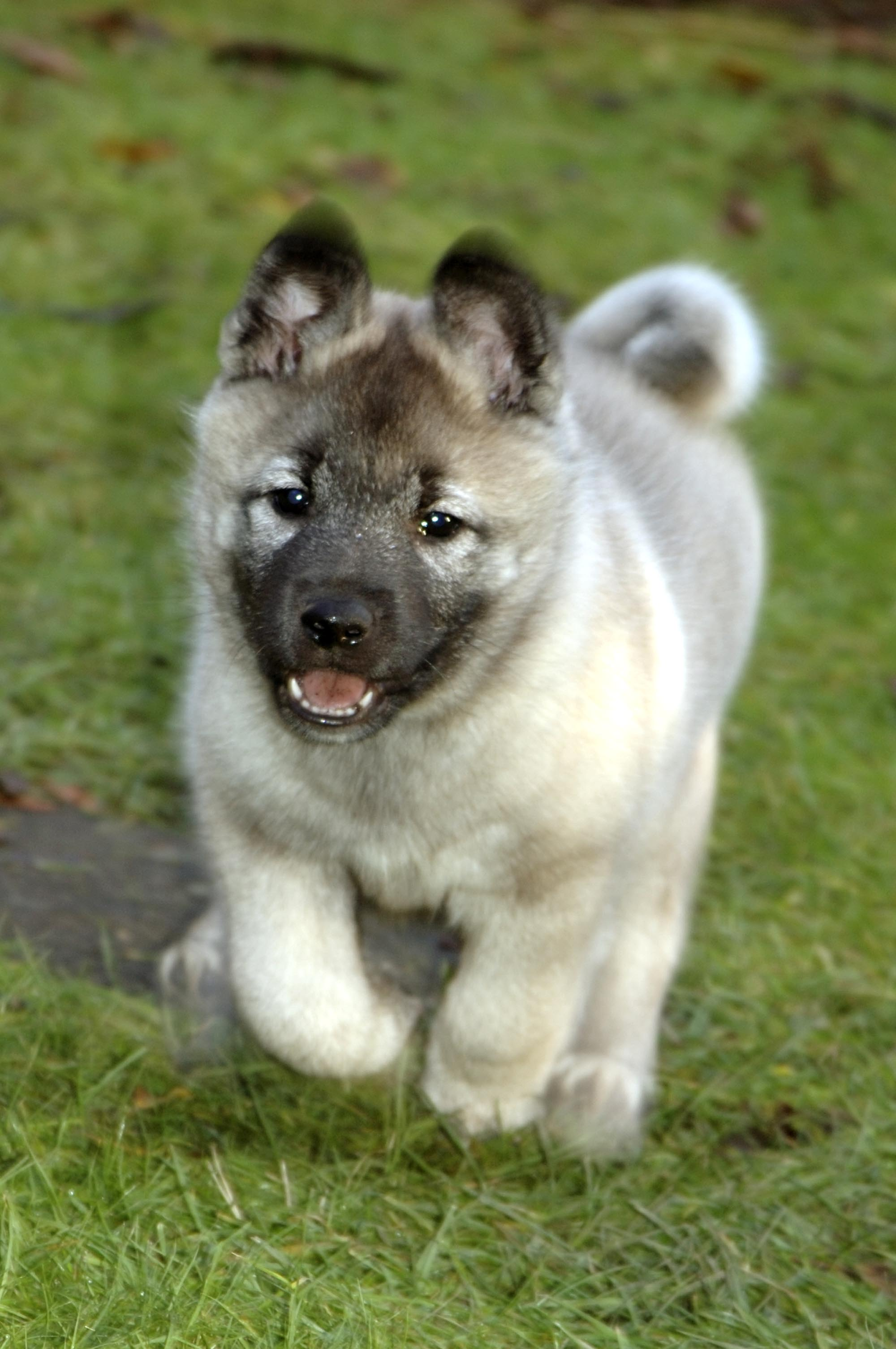 ファイル norwegian elkhound 0006 jpg wikipedia