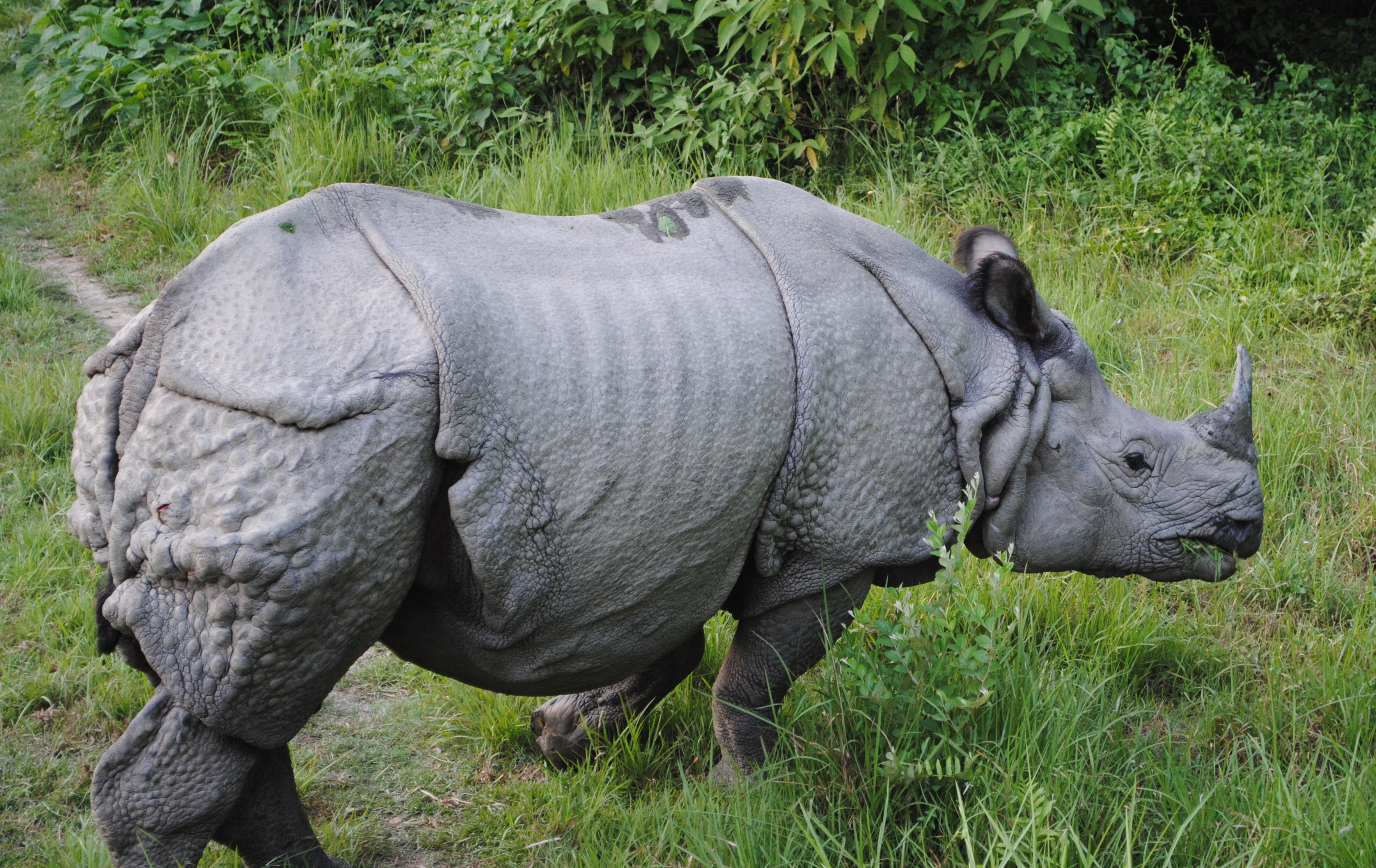 Wikipedia Rhino Single Horned