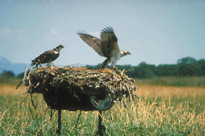 الجارحة الطبيعية والبيئية Ospreys_Fern_Ridge_R