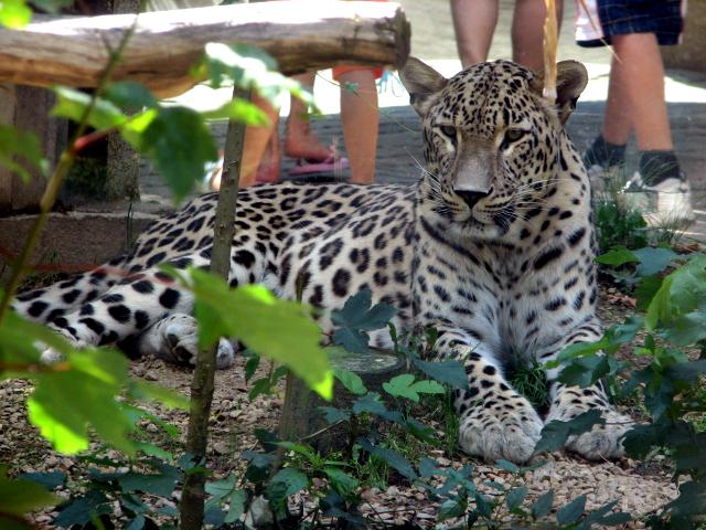 پرونده:Panthera.pardus.saxicolor-ZOO.Jihlava.jpg