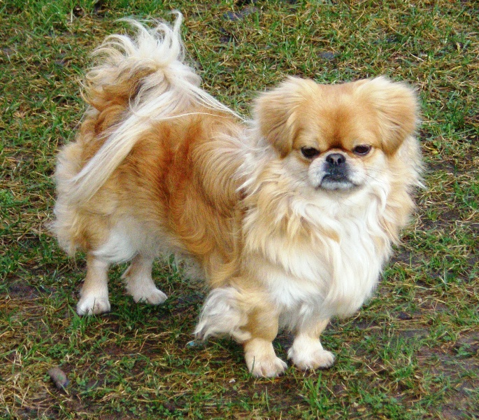 Pekingese Breed Description