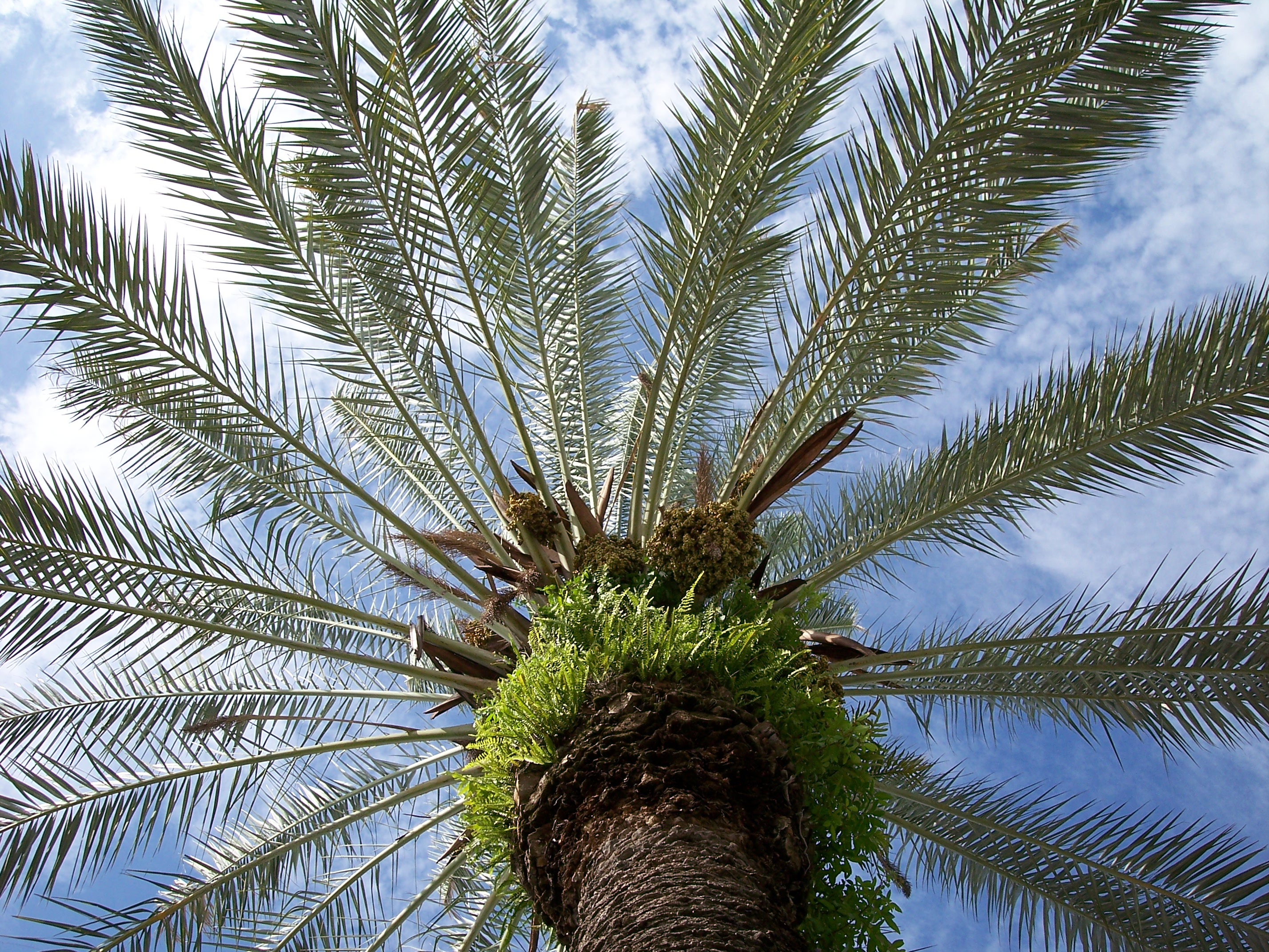 North Africa Phoenix Dactylifera seeds Origin 10 FRESH Date Palm