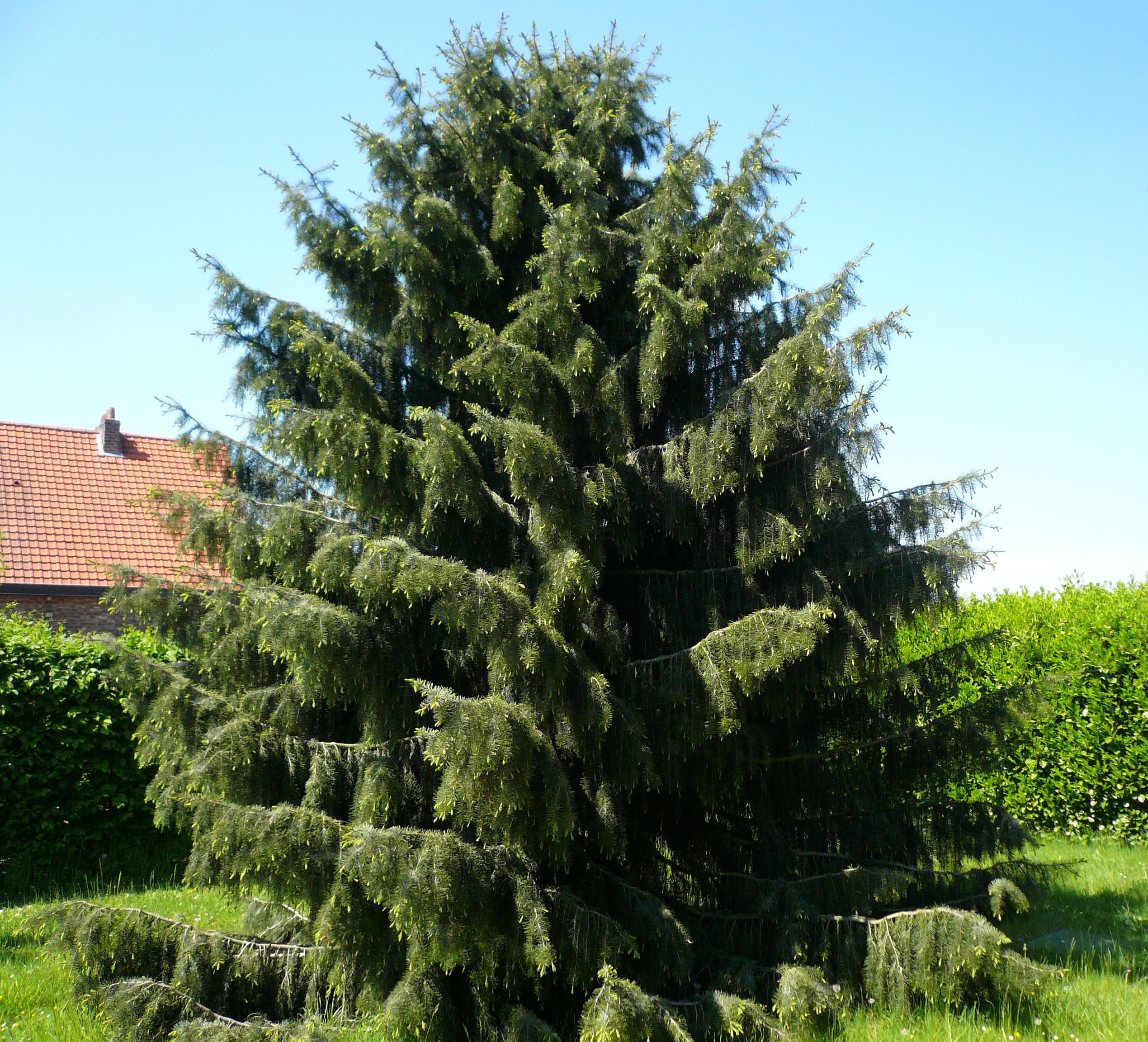 How to plant spruce 49