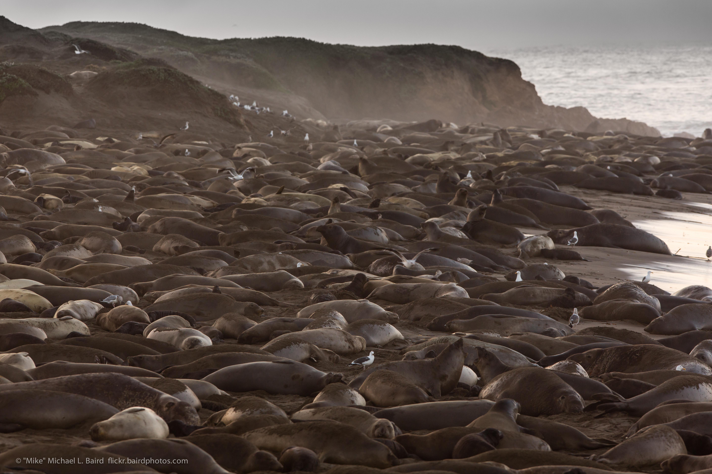 file piedras blancas elephant seal rookery jan 2013 jpg