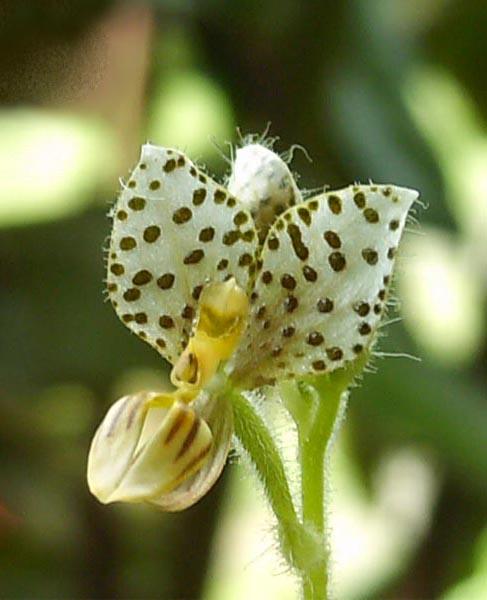 File:Ponthieva maculata jo cdlm - flower.jpg