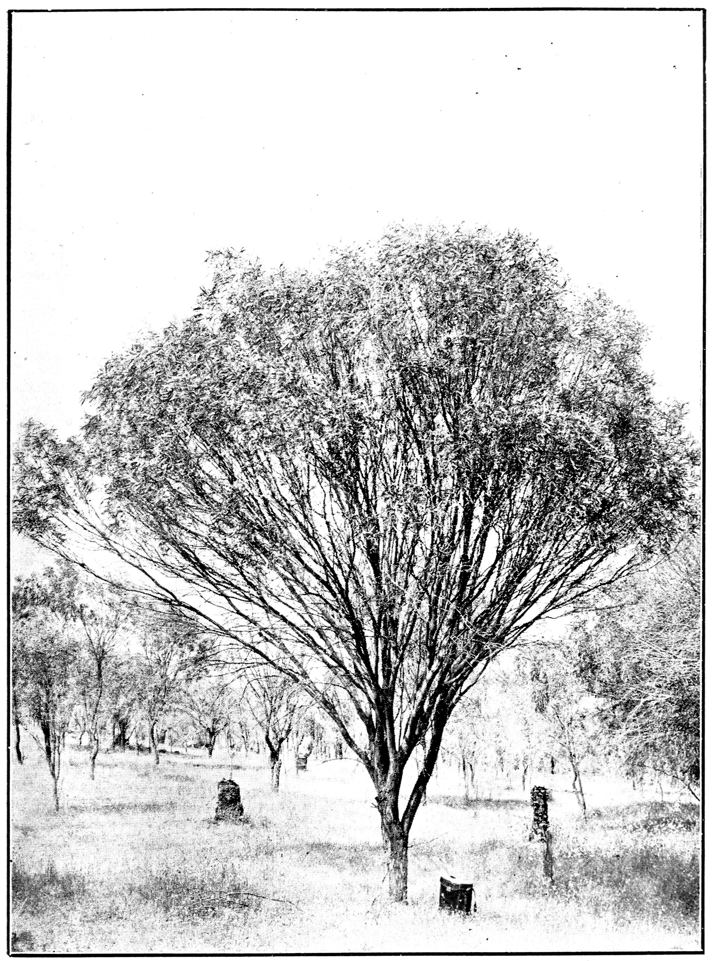 Acacia acuminata - Wikipedia