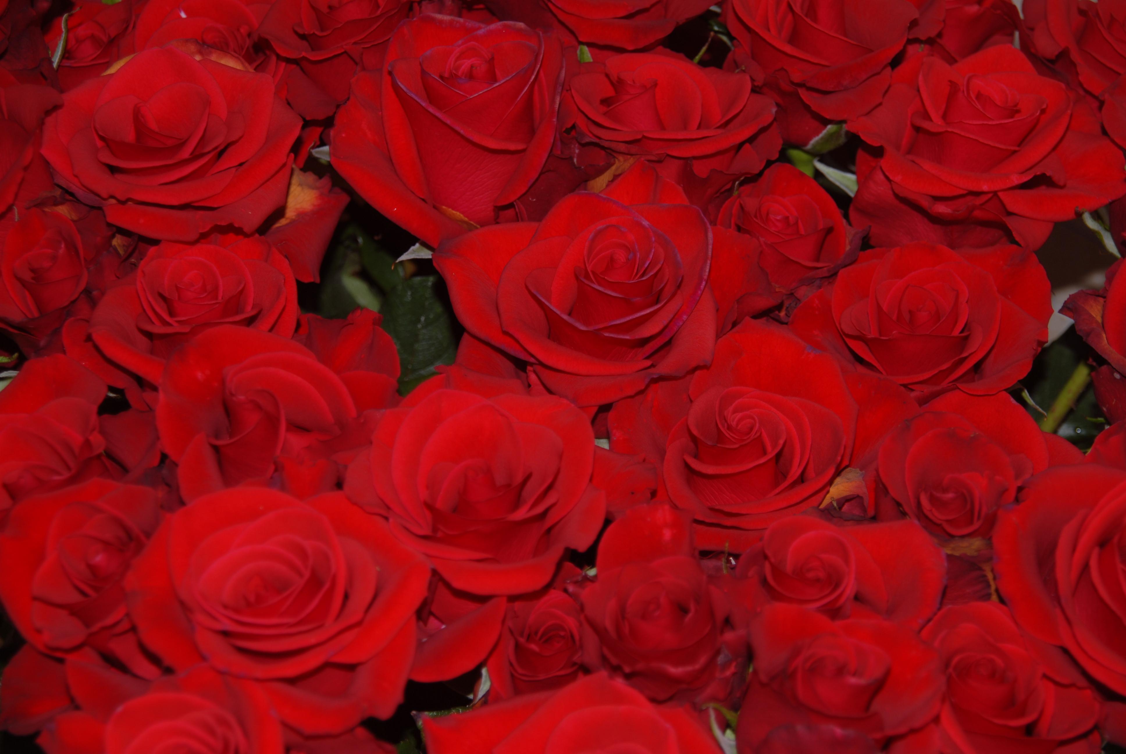 File:Red roses.jpg - Wikimedia Commons: https://commons.wikimedia.org/wiki/File:Red_roses.jpg