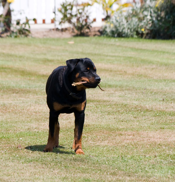 Rottweiler Dog All Black For Sale Uk Docked Tail