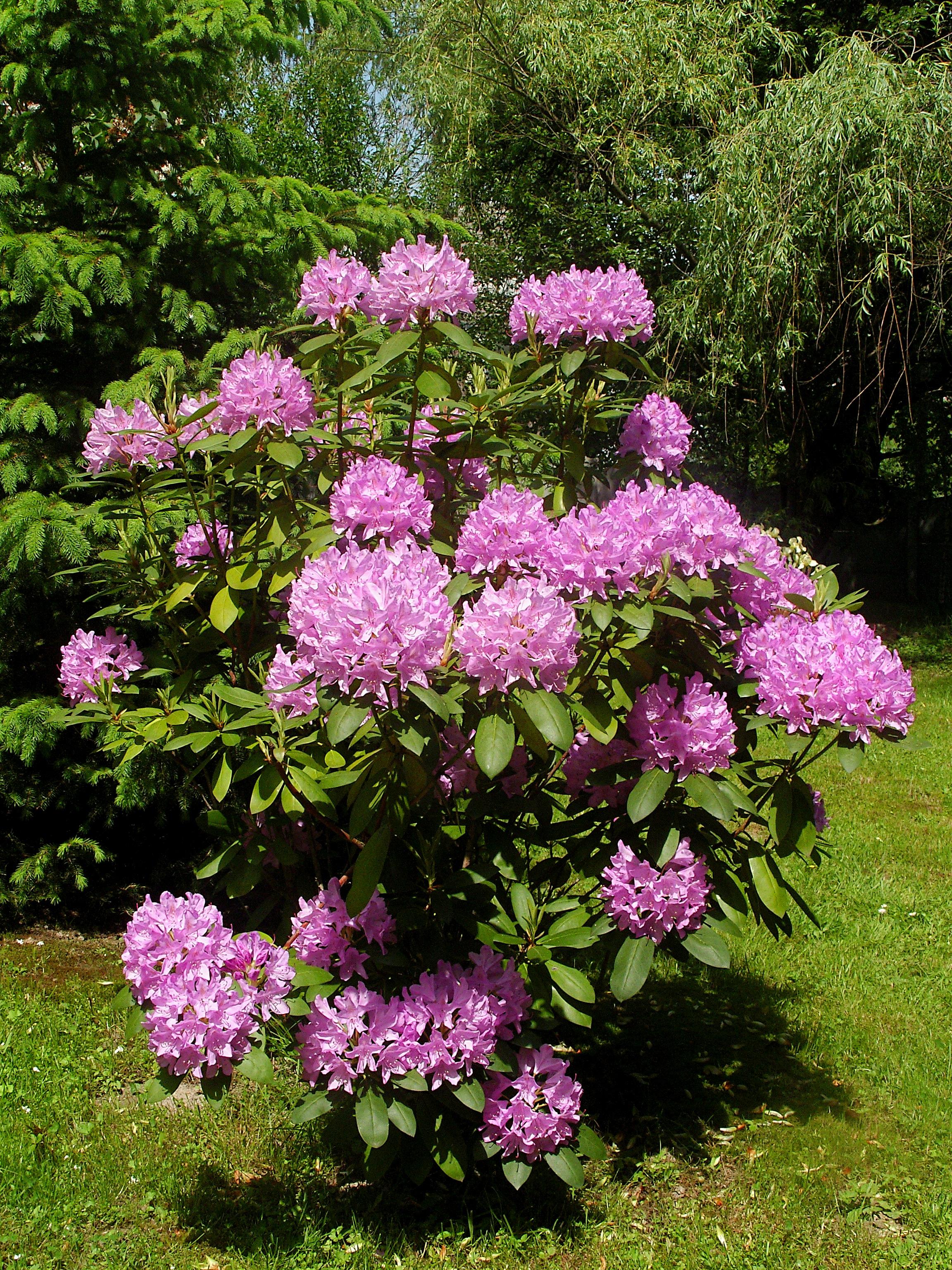 Znalezione obrazy dla zapytania Krzew Rhododendron ponticum L.