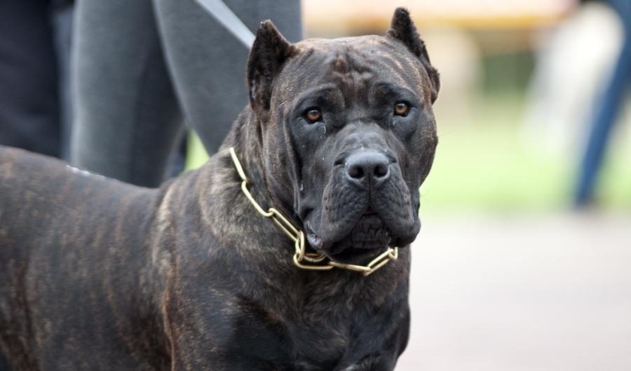 Most Aggressive Dog Breeds Akc