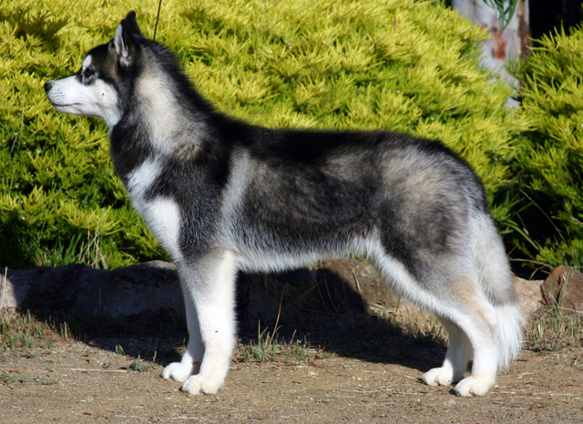 Siberian Husky - Wikipedia, the free encyclopedia