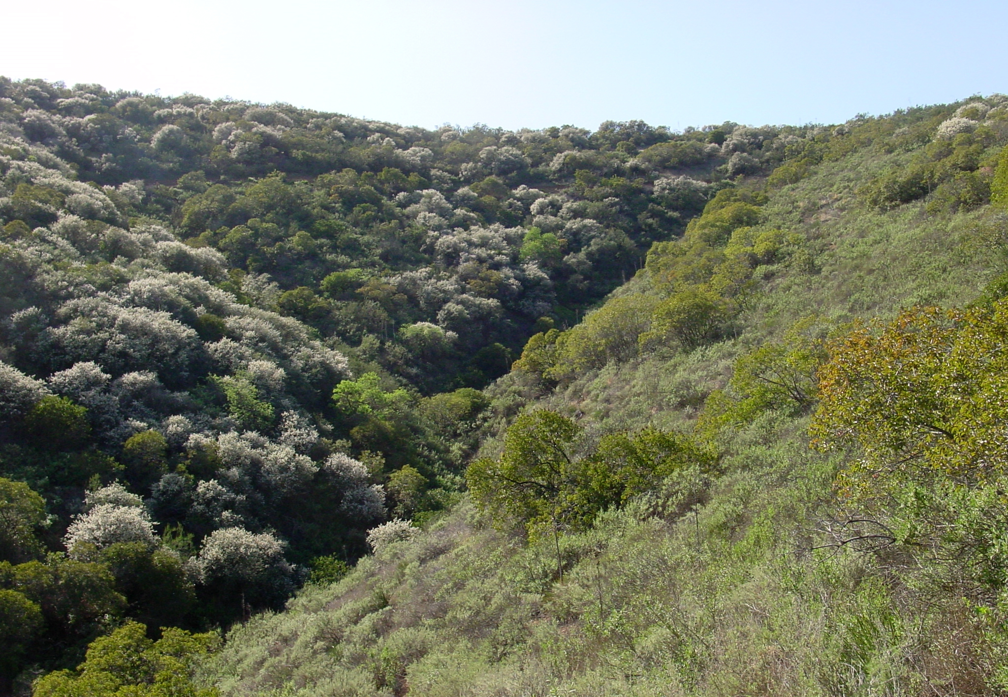 This image was taken in the Santa Monica Mountains in California. Notice the north-facing slope (left) is covered in white-blooming hoaryleaf ceanothus, while the south-facing slope (right) is much less sparsely vegetated in completely different species of plants. What accounts for these differences? Microclimates.