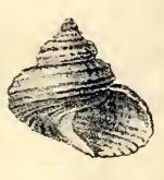 <i>Solariella charopa</i> species of mollusc
