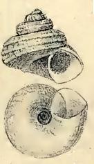 Solariella obscura 001.jpg