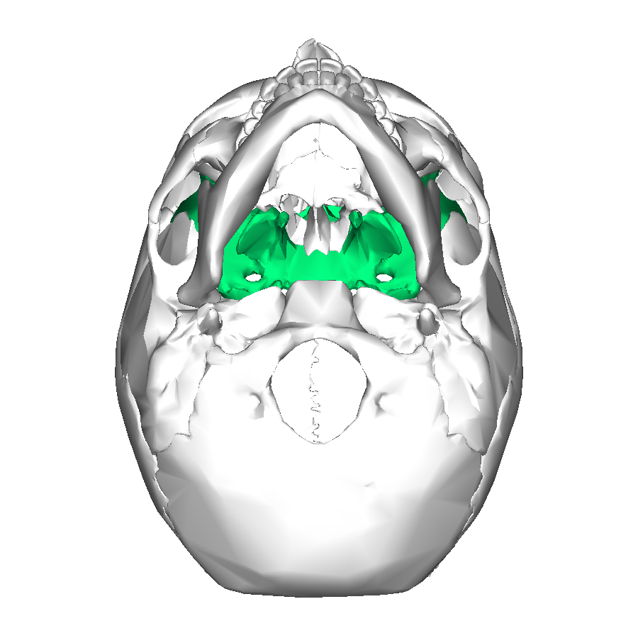 File:Sphenoid bone - inferior view.png - Wikimedia Commons