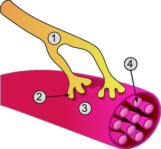 Depiction of Fibra muscular