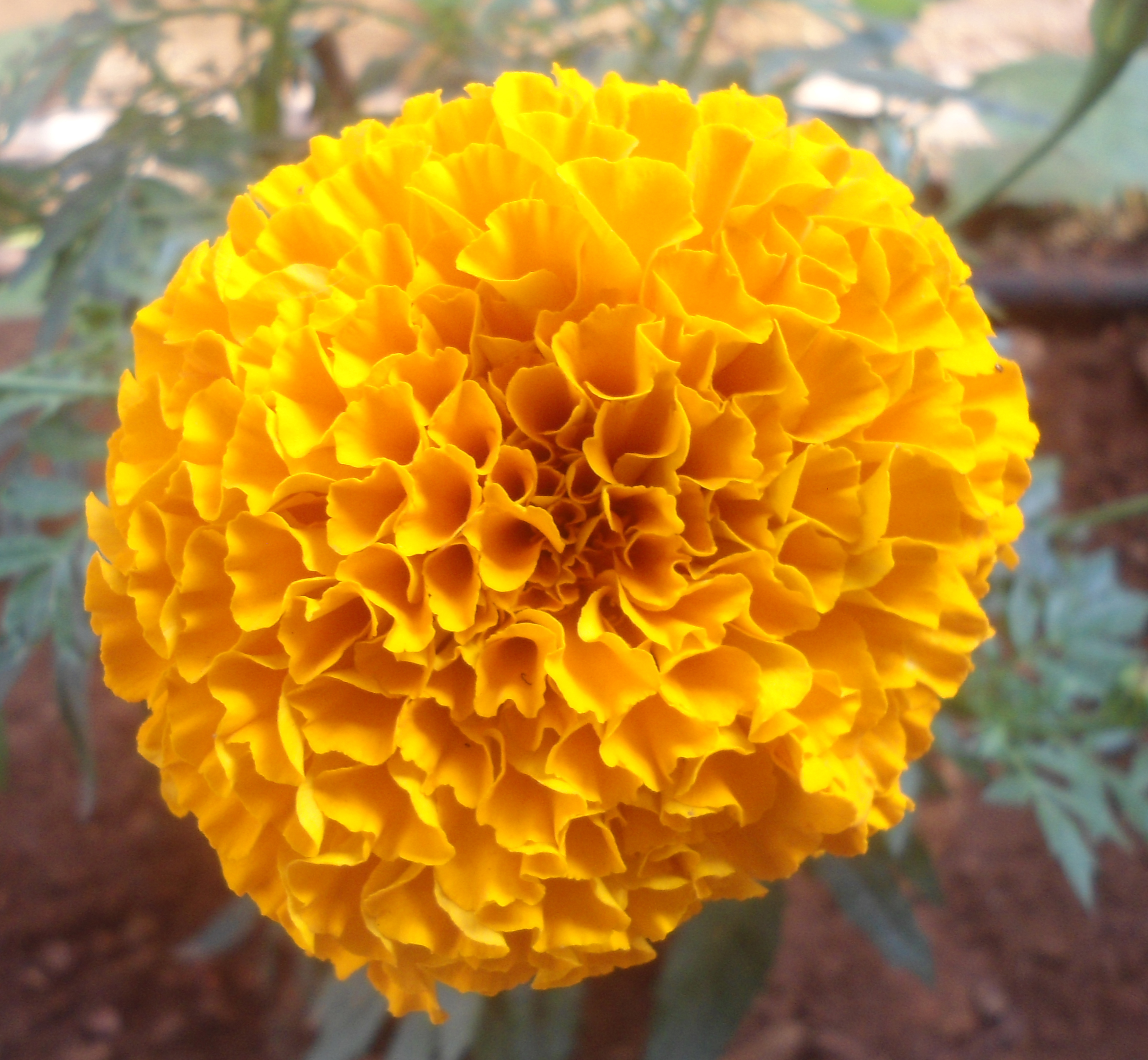 File Ta es erecta Marigold flower at Madhurawada 03 JPG