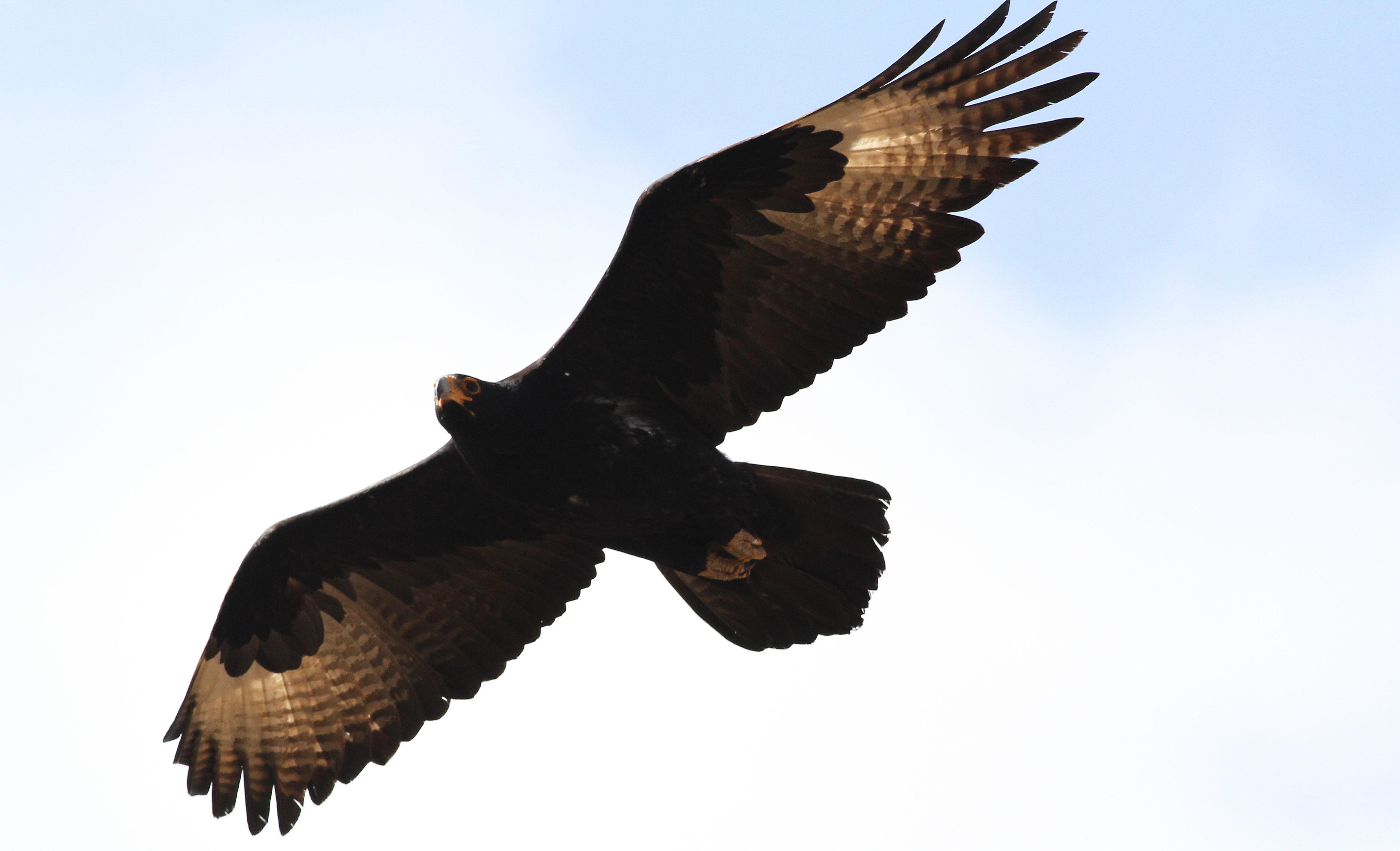 File:Verreaux\'s Eagle. Black Eagle, Aquila verreauxii, at Walter ...