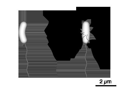 u30d5 u30a1 u30a4 u30eb vibrio diagram png