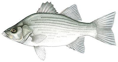 White bass wikipedia for Silver bass fish