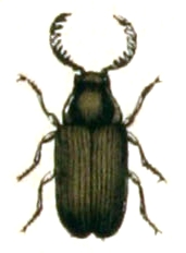 <i>Xyletinus</i> genus of insects